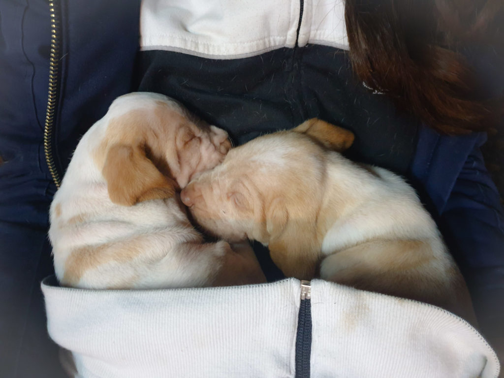 bracco italiano cucciolo