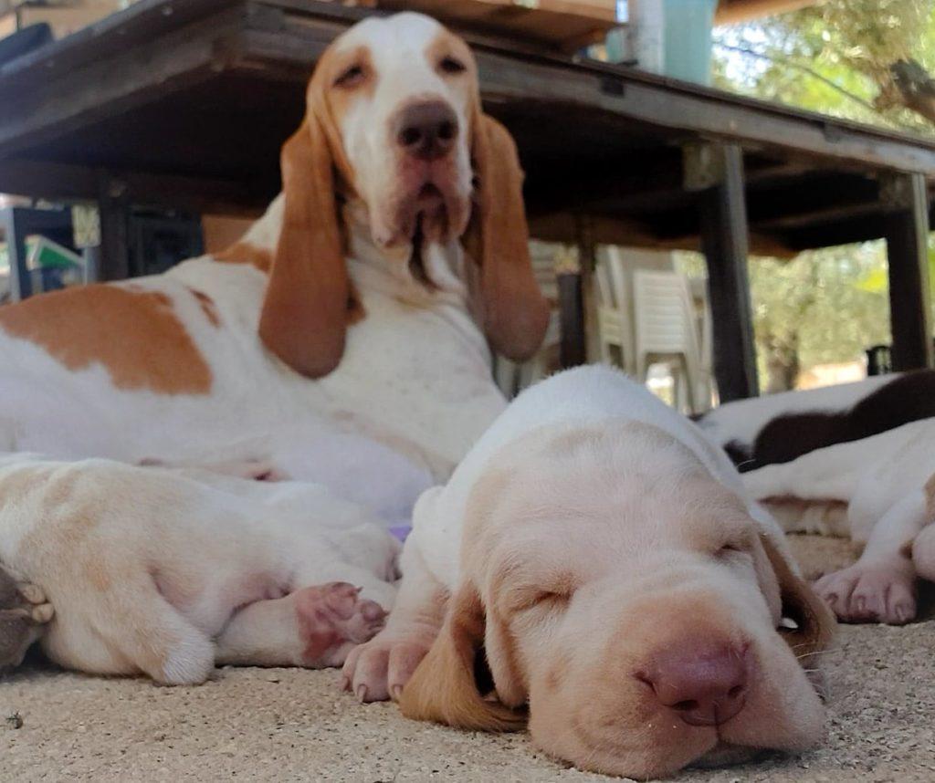 cuccioli bracco italiano
